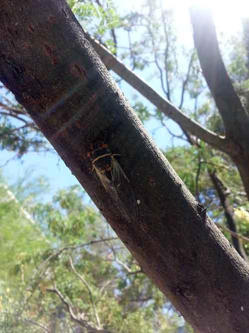 20140702_Cicada